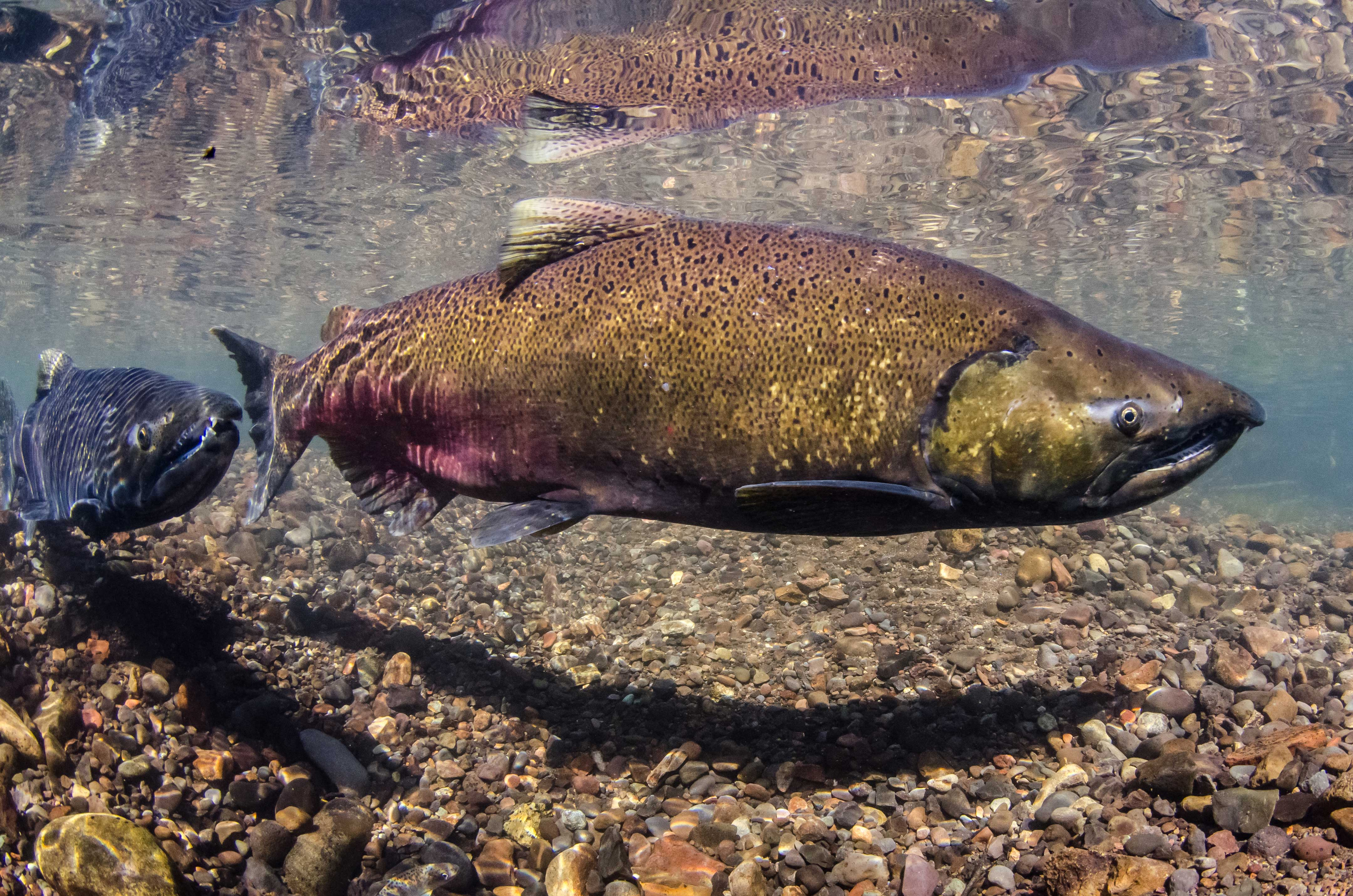 Adult King salmon are much smaller in size compared to 40 years ago, and the environment is to blame. (Photo: Morgan Bond)