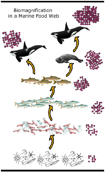 The red dots represent contaminants, illustrating how they magnify through each trophic level of the food web.