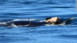 The orca Tahlequah grieved the death of her calf for 17 days and 1,000 miles.