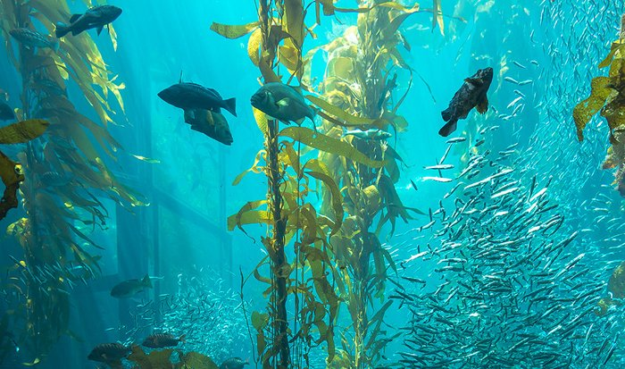 Biodiversity -- and carbon -- abound in a kelp forest.